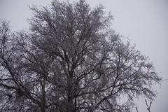 `s-Heerenhoek (Omroep Zeeland) Tags: mist en bevroren rijp aan de boom