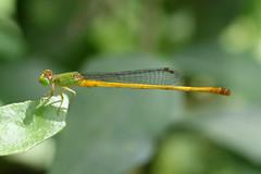Yellow Waxtail ♂ Ceriagrion coromandelianum (Roger Wasley) Tags: yellow waxtail male ceriagrion coromandelianum srilanka dragonfly dragonflies insect damselfly coromandel marsh dart coenagrionidae