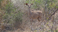 Kudu at Lower Sabie Camp (Rckr88) Tags: kudu lower sabie camp kuduatlowersabiecamp kudus krugernationalpark southafrica kruger national park south africa animals animal antelope antelopes nature naturalworld outdoors wilderness wildlife