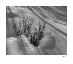 Oasis (agianelo) Tags: snow bush shadow monochrome bw bn blackandwhite texture abstract