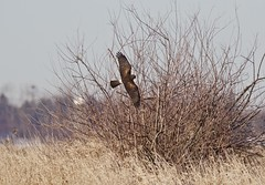 Northern Harrier - Female (jerrygabby1) Tags: bird harrier flight hunting bush