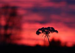 Queen Anne's Lace (dsgetch) Tags: queenanneslace sunset oregonsunset bokeh depthoffield dof cascadia pnw pacificnorthwest pnwlife oregon willamettevalley lanecounty eugeneoregon