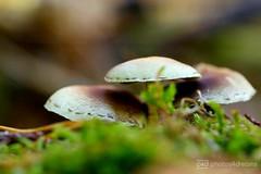 mushrooms 2 (photos4dreams) Tags: spaziergang walk feld wald wiese forest trees bäume photos4dreams p4d photos4dreamz pilz pilze fungi fungus mushroom mushrooms