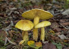 sulphur knight (roly2008.) Tags: toadstool fungi dorset canon 1dmkiv sigma 105mmmacro