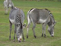 Zebra (Simply Sharon !) Tags: zebra zebras animals stripes blackandwhite yorkshirewildlifepark