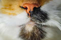 Our lovely pet (donnicky) Tags: cat closeup domesticanimal fur furry indoors macro mouth nopeople nose oneanimal pet publicsec лилу