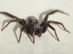 Spider Bright Light Eyes DSCF1139 (Ted_Roger_Karson) Tags: handheldcamera spider sumpspider northern illinois fujifilm xs1 raynox dcr150 web macro hand held camera northernillinois