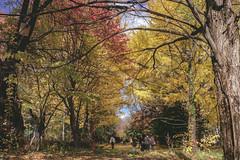 DSC_9550 (juor2) Tags: hokkaido university ginkgo autumn yellow campus nikon scene travel japan d4 reflection