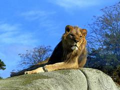 Kibo (Raymonde Contensous) Tags: lion kibo animaux nature parczoologiquedeparis zoodevincennes félidés grandsfélins