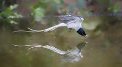 Asian Paradise Flycatcher (white-morph) _ Boluo ☺☺ (mahi mahi 163) Tags: flycatcher 80400mm china