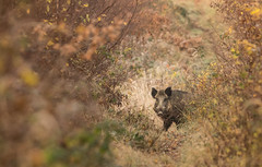 Le golgoth (Eric Penet) Tags: mormal avesnois nature wildlife wild france faune forêt locquignol nord novembre automne sanglier boar sauvage animal suidé sus scrofa mâle solitaire mammifère mammal