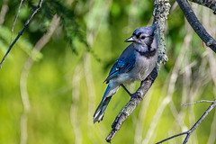 Okay I'm Ready For My Closeup (rdubreuil) Tags: birds bluejays nature outdoors wildlife avian feathers blue perched perching jay branch branches leaves beak fauna cyanocittacristata corvidae passerine bird tree