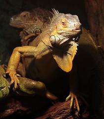 groene leguaan Ouwehands 094A0715 (j.a.kok) Tags: reptiel reptile leguaan groeneleguaan ouwehands dier animal