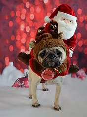 The Boo-dolph Santa Express (DaPuglet) Tags: pug pugs dog dogs pet pets animal animals christmas santa rudolph reindeer holidays winter december snow decorations costume cute bells antlers pèrenoël noël holiday bokeh coth5