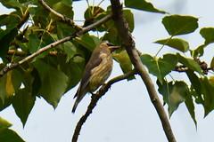 Cedar Waxwing (Bombycilla cedrorum) juvenile (R-Gasman) Tags: travel bird cedarwaxwing bombycillacedrorum juvenile inglewoodbirdsanctuary calgary alberta canada