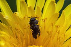 Pop Out, Pt. 2 - _TNY_9273 (Calle Söderberg) Tags: macro canon canoneos5dmarkii canon5dmkii canonef100mmf28usmmacro canon5dmarkii 5d2 raynox dcr250 flash meike mk300 glassdiffusor insect flower yellow beetle skalbagge anthaxia jewelbeetle buprestidae coleoptera fibbla praktbagge metallicwoodboringbeetle buprestoidea f22