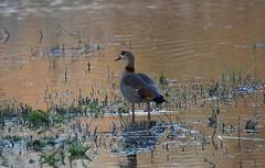 DSC07934 (simonbalk523) Tags: egyptian goose birds wild wildlife nature warnham horsham sussex sony photography lakes reserve