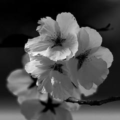 dreaming ... (rooibusch) Tags: britzergarten berlin blüten obstbaum kirsche blossom