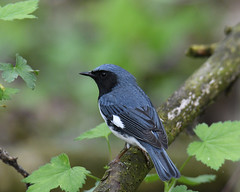 Black-throated Blue Warbler (Digital Plume Hunter) Tags: