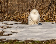 Oh, I am so sorry Mr. DeVries . . . (Dr. Farnsworth) Tags: bird large snowyowl owl white male snow field corn muskegon mi michigan fall december2018