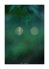 2018/10/6 - 2/15 photo by shin ikegami. - SONY ILCE‑7M2 / Lomography New Jupiter 3+ 1.5/50 L39/M (shin ikegami) Tags: 紅葉 macro マクロ 井の頭公園 吉祥寺 autumn 秋 sony ilce7m2 sonyilce7m2 a7ii 50mm lomography lomoartlens newjupiter3 tokyo sonycamera photo photographer 単焦点 iso800 ndfilter light shadow 自然 nature 玉ボケ bokeh depthoffield naturephotography art photography japan earth asia