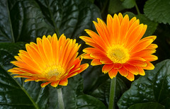 Brilliant Golden Gerbera Daisies (tresed47) Tags: 2018 201811nov 20181101longwoodflowers canon7d chestercounty content daisy fall flowers folder longwoodgardens november pennsylvania peterscamera petersphotos places season takenby us ngc