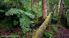 Valley of Ferns Fallen Tree (Panorama Paul) Tags: paulbruinsphotography wwwpaulbruinscoza southafrica southerncape gardenroute knysnaforest indigenousforests treeferns valleyofferns nikond800 nikkorlenses nikfilters