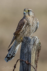 Kestrel Post (Mr F1) Tags: wild kestrel johnfanning bop birdsofprey wildlife nature outdoors bird detail perch post barbedwire