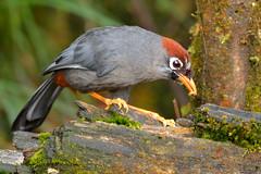 Chestnut-capped laughingtrush (A_K_B) Tags: chestnutcapped chestnut capped laughingtrush laughing trush bird nikon 200500mm
