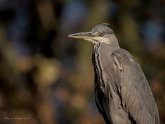 Grey Heron (wernerlohmanns) Tags: wildlife wasservögel natur outdoor nikond750 naturpark nabu sigma150600c schärfentiefe