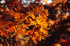 oaktober, part two (christiaan_25) Tags: whiteoak quercusalba leaf leaves tree autumn fall season orange red change backlighting backlit sky nature