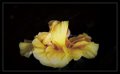 """""""Nature's beauty is a gift that cultivates appreciation and gratitude."""" (Ramalakshmi Rajan) Tags: flowers flower yellow hibiscus inmygarden quotes nikon nikond750 nikkor24120mm raindrops"""