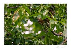 Ecureuil roux - Sciurus vulgaris (Nann Quinet) Tags: squirrel écureuil animalier forêt wildlife wild mammals nature