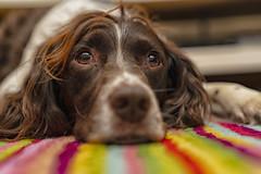Bright eyes (Jonathan Goddard1) Tags: sony a7m3 a7iii sonyalpha springer spaniel dog closeup 50mmf14 samyang eyes reflections
