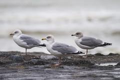 Seagulls (PeterWdeK) Tags: zeeland walcheren dijk zeedijk seagull meeuwen zee sea waves 7d canon7d canon nederland thenetherlands november 2018