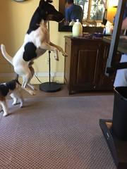 Brax! (Vegan Feast Catering) Tags: prt jump pup agility champion