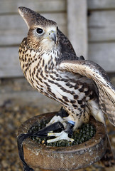 Hawk... (mickb6265) Tags: herringsgreenfarm wilsteadbirdofpreycentre wilstead bedfordshire harrishawk hawk birdofprey