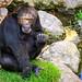 Con su barbita ya blanca. (Pilar Lozano ♥) Tags: primate simio agua rocas hierva pilarlozano♥♥