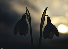 Snowdrop sunset! (Nina_Ali) Tags: sunset silhouette flowers shadow backlit nature backlight serenity peace sunsetoversnowdrops
