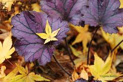 Beautiful Fall (Virginia Bailey Photography) Tags: autumn fall shindeshojo purple yellow heuchera japanesemaple maple leaf garden nature canon80d wa washington america usa virginiabaileyphotography