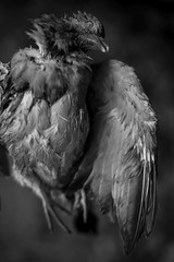 (esztervaly) Tags: pigeon death dead wing animal feather feathers blackandwhite blackandwhitephotography naturallight natural nature forest bokeh bokehbackground