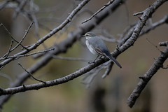 DSCF6598 (jojotaikoyaro) Tags: bird animal nature wildlife suginami tokyo japan fujifilm xh1 xf100400mm