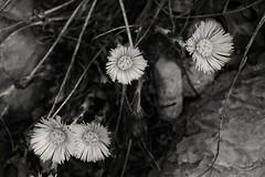 giallo (enrico sprea) Tags: fiore giallo farfara tussilagofarfara montagna cornizzolo monterai lombardia italia triangololariano prato pascolo pietre allaperto pentaxlife bwartaward biancoenero blackandwhite bosco monocromo rifugioconsiglieri trekking camminare escursione erba fiori infiorescenze petali stami fiorellini fioritura primavera macro pianta vegetazione vegetale sassi rocce tossilaggine asteraceae