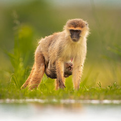 Vervet monkey / Vervet (Wim Hoek) Tags: groenemeerkatten zimangagamereserve mammals primaten afrika zimangalagoonhide vervetmonkey apenvandeoudewereld mammalgroups africa cercopithecidae chlorocebus chlorocebuspygerythrus grivetapen oldworldmonkey primates vervet vervetapen zoogdieren zuidafrikaansegroenemeerkat blauwaap uphongolonu kwazulunatal southafrica za