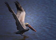 A soft landing (pattyannemac) Tags: pelican yellowcrownedpelican lakeview water landing largebird