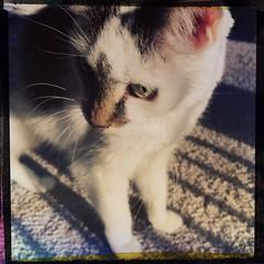 27/365/8 (f l a m i n g o) Tags: 365days project365 saturday 2019 19th january animal pet cat angel hipstamatic