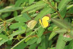 IMG_7340 Eurema brigitta (Raiwen) Tags: euremabrigitta eurema pieridae coliadinae butterflies lepidoptera island roume basseguinée guinea westafrica africa