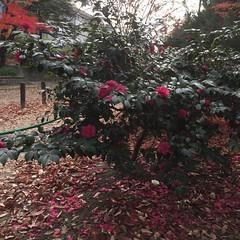 サザンカ香る (eyawlk60) Tags: sasanqua flower beautuful momiji サザンカ 花 赤い花 flickraward