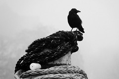 kiel_DSC03588_bw (ghoermann) Tags: kiel schleswigholstein germany deu düsternbrook geo:lat=5433666347 geo:lon=1015775085 geotagged bird