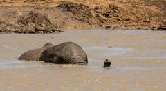 DSC08866 (Paddy-NX) Tags: 2019 20190109 addoelephantnationalpark africa elephant sony sonya77ii sonyalpha sonyalphaa77ii sonysal70300g southafrica wildlife